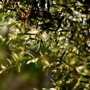 Oleoturismo en Jaén - Olivo